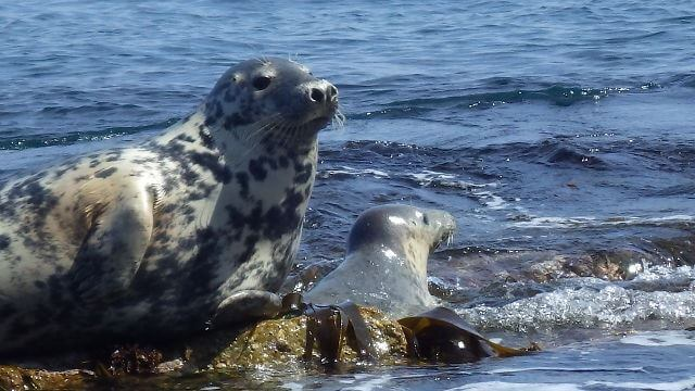 The grey seal is a very social mammal. It lives and feeds in big groups along the coastline.